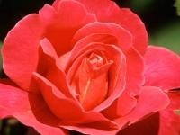 Флеш игра Красная роза: Поиск чисел