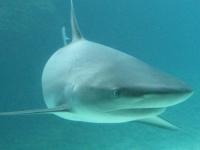 Флеш игра Акулы: Пазл