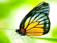 Флеш игра Бабочка: Пазл