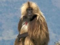 Флеш игра Бабуины: Пазл
