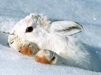 Флеш игра Белый кролик: Пазл