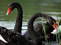 Флеш игра Черные лебеди