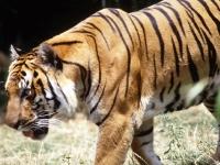 Флеш игра Дикий тигр: Пазл