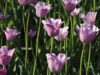Флеш игра Фиолетовые тюльпаны: Пазл