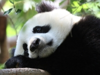 Флеш игра Грустная панда: Пазл