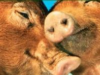 Флеш игра Любовь свиней: пазл