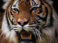 Флеш игра Малайский тигр: Пазл