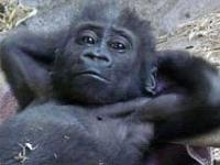 Флеш игра Маленькая горилла: Пазл