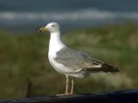Флеш игра Морские птицы: Пазл