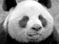 Флеш игра Панда: Пазл