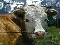 Флеш игра Пазл: альпийская корова