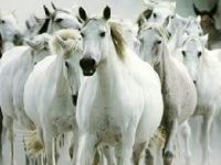 Флеш игра Пазл: белые лошади