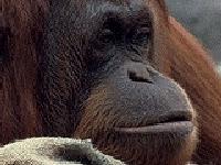 Флеш игра Пазл с обезьяной