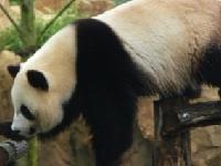 Флеш игра Пазл с пандой