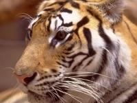 Флеш игра Пазл с тигром