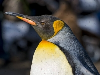 Флеш игра Пингвины: Пазл