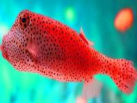 Флеш игра Пятнистая рыбка в океане