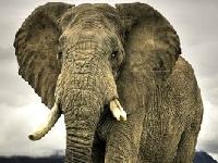 Флеш игра Слон: Пазл