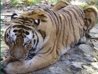Флеш игра Тигр: Пазл