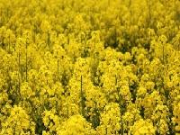 Флеш игра Желтые поля: Пазл