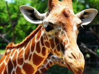 Флеш игра Жираф: Пазл